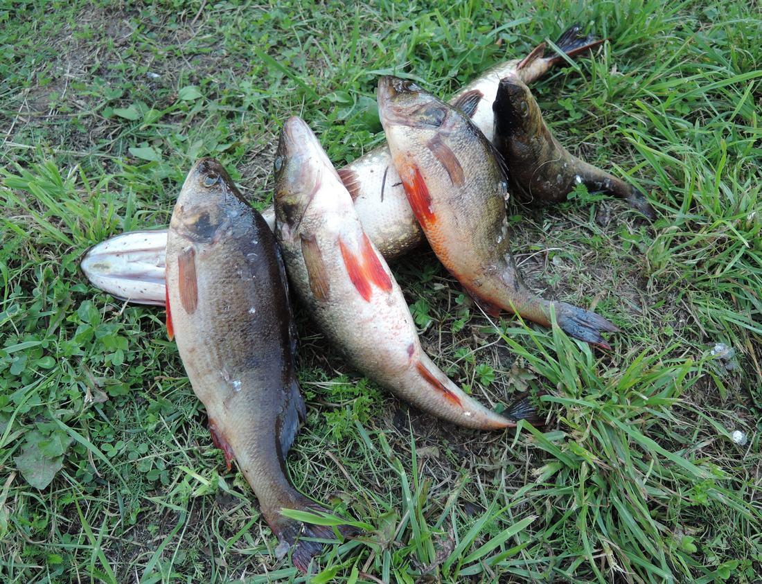 Ловля крупного окуня в озере