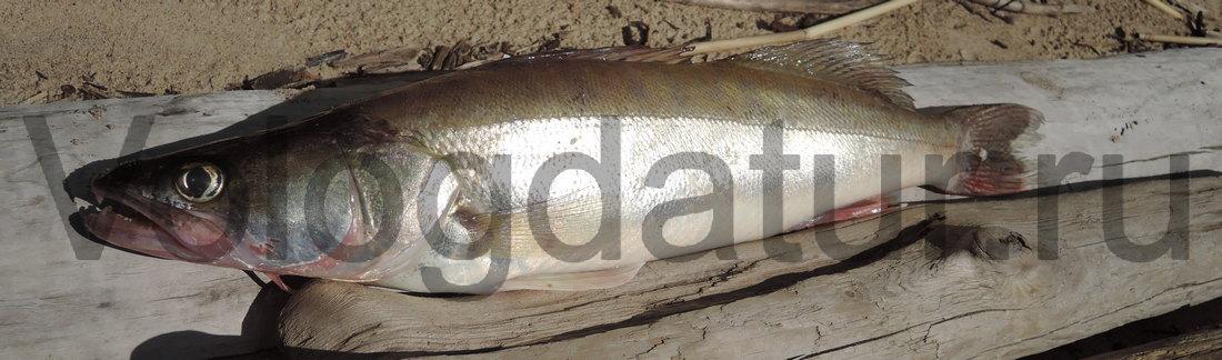 Ловля судака на озере Белое Вологодской области